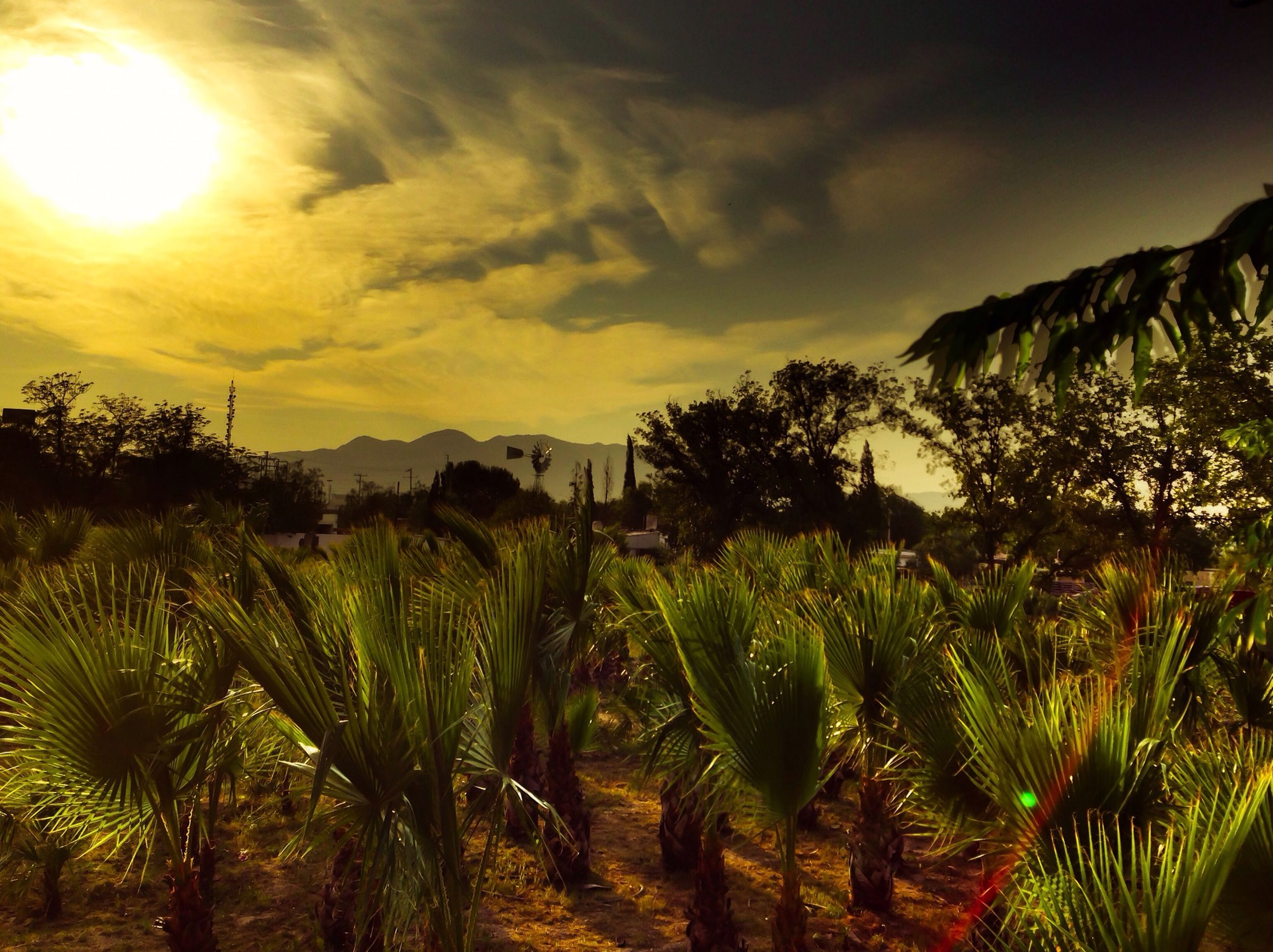 sunset, sky, growth, tranquil scene, tranquility, beauty in nature, nature, scenics, landscape, palm tree, plant, rural scene, agriculture, field, tree, cloud - sky, crop, sun, idyllic, sunlight