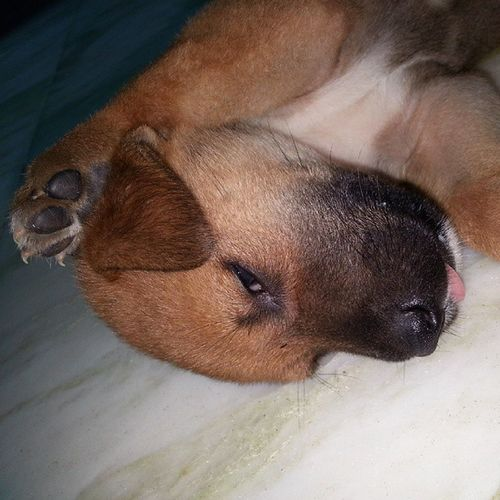 Puppy Cute Mastikhor 1monthOld