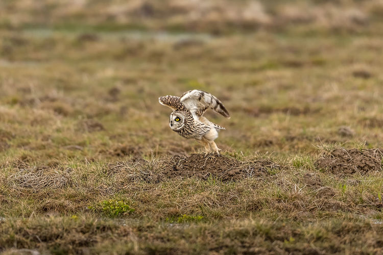 Animal Animal Themes Animal Wildlife Animals In The Wild Bird Day Domestic Domestic Animals Field Grass Herbivorous Land Mammal Nature No People One Animal Owl Pets Plant Selective Focus Short Eared Owl Vertebrate Zoology