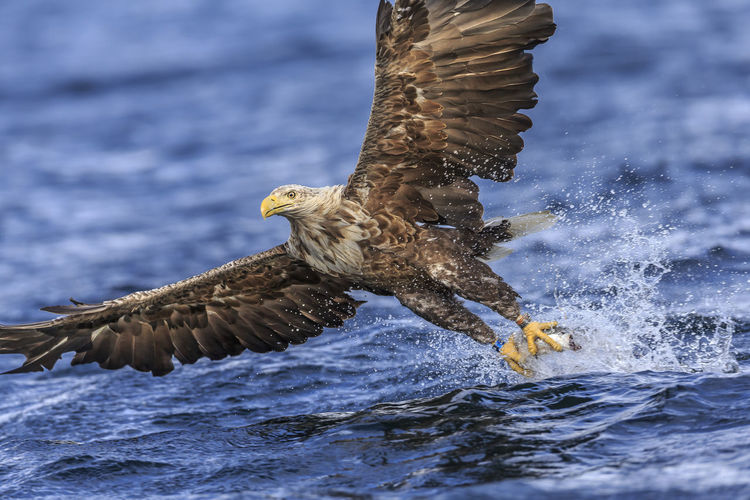 Eagle fishing in sea