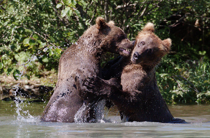 Close-up of two bears splashing in water
