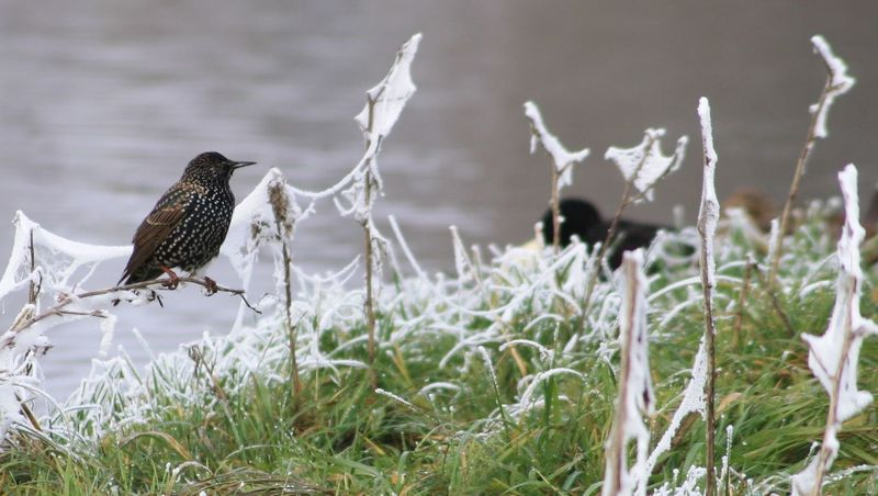 Animal Wildlife Animals In The Wild Beauty In Nature Bird Nature No People Outdoors Starling Whitefrost
