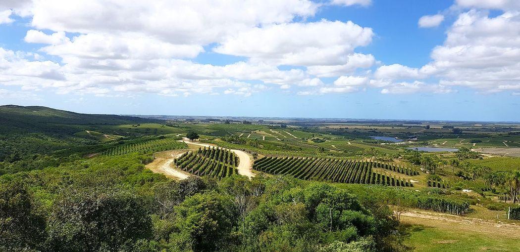 vineyard Olives