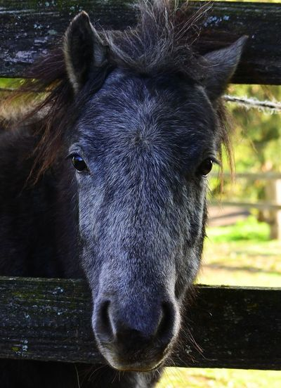 Pony Portrait Looking At Camera Horse Close-up Mane Hoofed Mammal