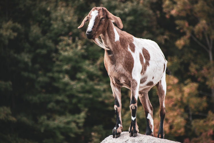 View of a goat