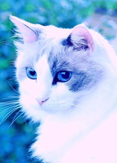 Cats Face Pet Photography  Pet Portrait Ragdoll Cat Outdoors Cat Cat In The Greenery