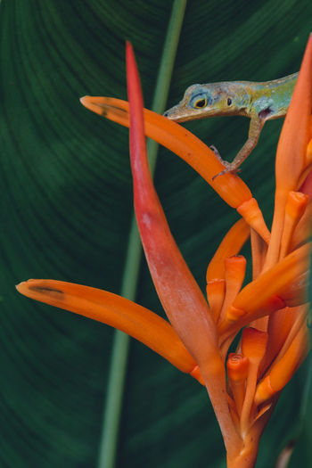 Martinique Martinique Island Martinique L'île Aux Fleurs Island Islandlife Caribbean Caribbean Life Orange Color Close-up Plant Flower Flowering Plant Freshness Beauty In Nature One Animal Lizard Animal Green Color Orange Day Nature Animal Wildlife