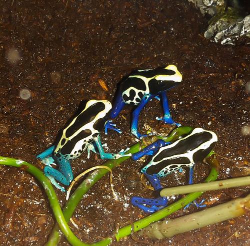 Dendrobates Tinctorius Patricia Poison Dart Frog PDF My Vivarium Casa De Albatross