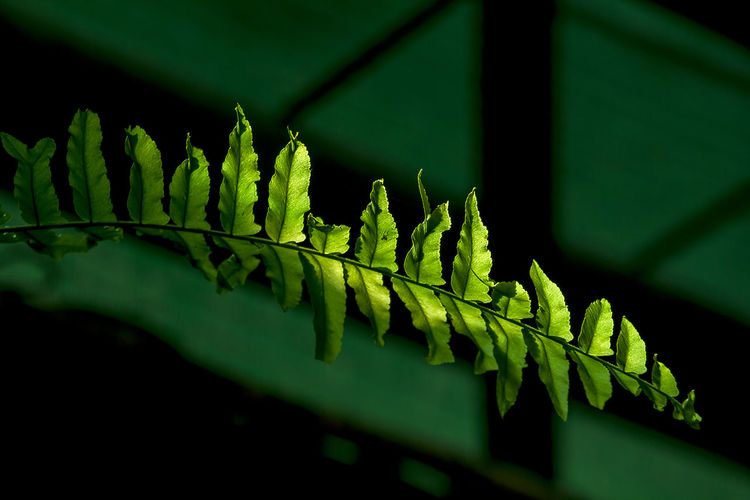Fern leaves sunlight through. Fern Leaves Beauty In Nature Close-up Day Fern Fern Leaves Texture Ferns Green Color Growth Leaf Leaves Nature Outdoors Plant Plant Part