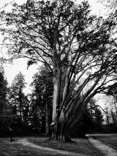 Curraghchase 🌲 Beauty In Nature Black & White Black And White Branch Clear Sky Coniferous Tree Coniferous Trees County Limerick Curraghchase Day Growth Ireland Landscape Nature No People Outdoors Scenics Sky Tranquil Scene Tranquility Tree Tree Trunk