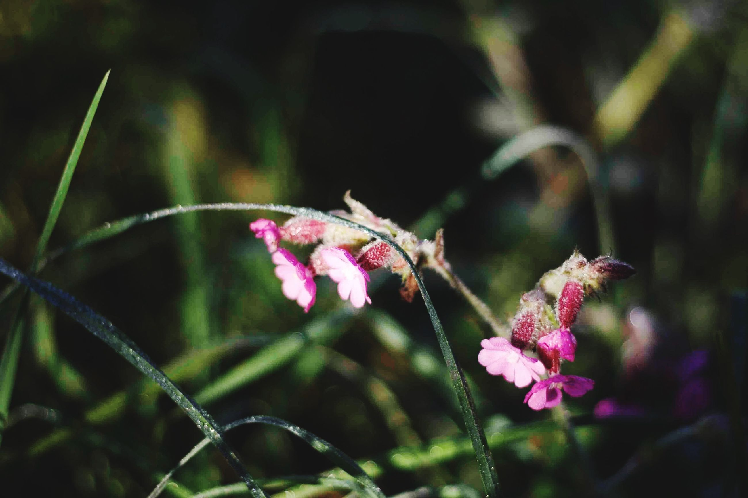 flower, freshness, fragility, focus on foreground, pink color, growth, close-up, beauty in nature, plant, purple, stem, nature, petal, flower head, one animal, animal themes, insect, blooming, selective focus, outdoors