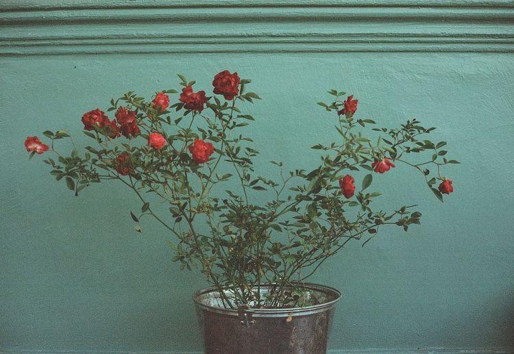 Aesthetics Film Red Aesthetic Beauty Beauty In Nature Film Photography Flower Flowering Plant Freshness Growth Nature Photography Plant Red Rose - Flower Rosé