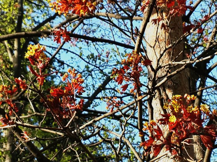 Tree Growth Nature Branch Low Angle View Beauty In Nature Outdoors Day No People Sky Bloomimg Tree Springtime Maple Tree
