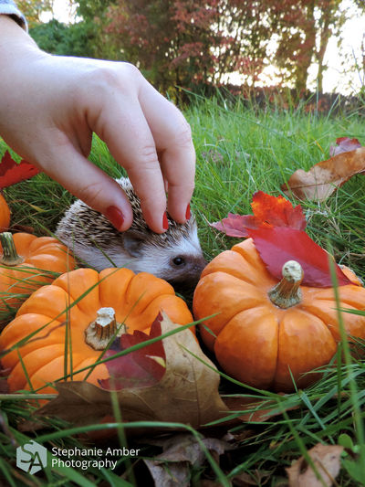 Close-up of hand holding pumpkins on field