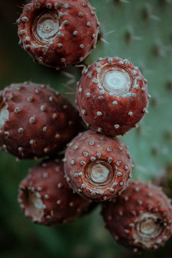 Close-up of prickly pear cactus