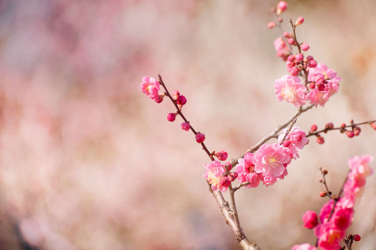 Plum Blossoms Flower Flowering Plant Pink Color Freshness Plant Fragility Beauty In Nature Blossom Tree Branch Nature Plum Blossom Spring Springtime Soft