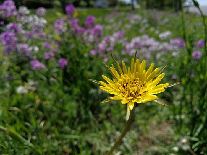 My sunshine.... Flower Head Flower Flowerbed Yellow Petal Purple Summer Field Springtime Flowering Plant Wildflower Uncultivated In Bloom