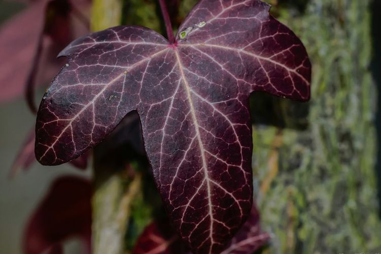 Close-up Focus On Foreground Leaf Outdoors Nature Plant No People Day Fragility Ivy Ivy Leaf Red Ivy Red My Garden I Love Nature EyeEm Nature Lover Nature On Your Doorstep Freshness Beauty In Nature Nature Plant