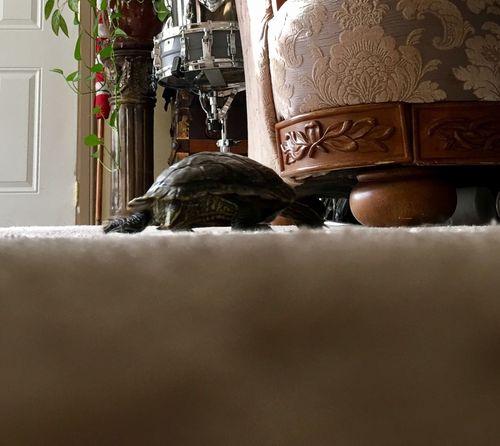 Indoors  Vertical Turtle 🐢 Speed Animals Eye4photography  EyeEmAnimalLover EyeEm EyeEmBestPics Turtles Turtle 🐢 Turtle Love Turtle Cuteness TurtlePower Turtle Power Crawling Green Painted Turtle Tortoise Pet Pets Christmas No People Bedroom Day
