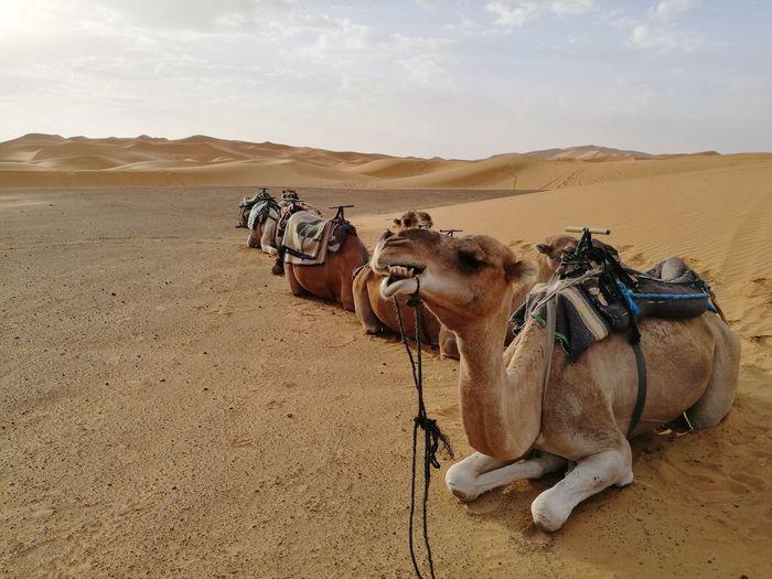 camel gangster at Sahara desert Soonjourney MyWanderLust Travel Africa Morocco Desert Sand Dune Cheetah Desert Sand Arid Climate Safari Animals Sky Landscape