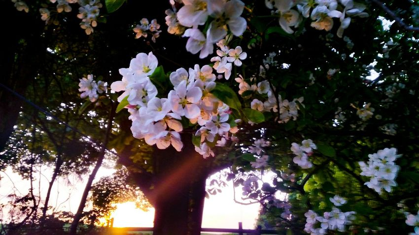 Sun down.... Pink Flowers Pink Blossoms Sunset Sunlight Tree Silhouette Silence Moment Silent Moment Quiet Moments Quiet Places Meditative Scent Water Plant Apple Blossom Blossom Botany Blooming Petal Pollen In Bloom