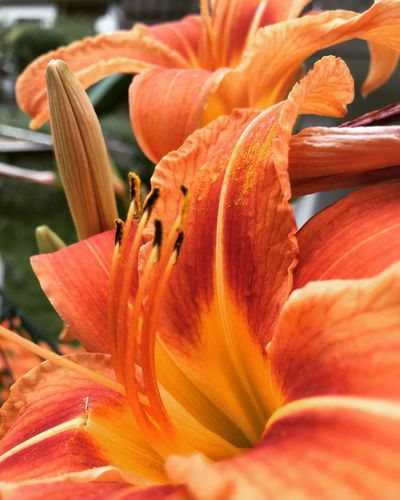 Petal Flower Orange Color Beauty In Nature Flower Head Nature Fragility Freshness Growth Blooming Day Lily Outdoors No People Close-up Day Stamen Plant