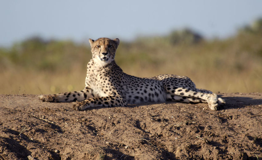 Cheetah Lying On Field At Forest