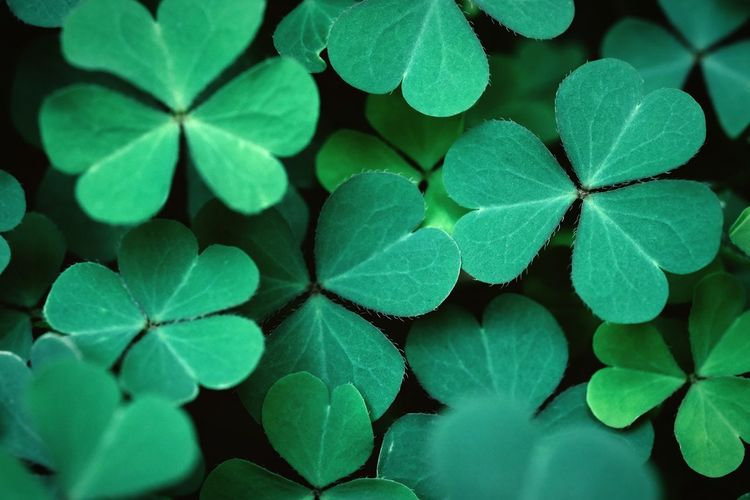 Shamrock , clover leaves for green background with three-leaved shamrocks. st patrick's day