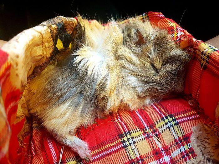 Nada, como la comobidad de dormir One Animal Animal Themes Domestic Animals No People Pets Day Love ♥ Siesta Cobayas Animal Ternura <3 Beibi Vacations Love Forever ♡ Pet Portraits
