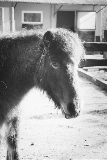 Animals Pony