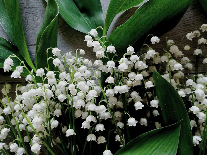 Lily Lily Of The Valley Bouquet Top Flower View Above Lilly Table Backdrop Background Beam Bell Bloom Blossom Bunch Copy Space Field Floral Flower Head Flower Leaf Petal Close-up Plant Blooming Green Color Blossom Spring