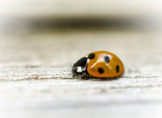 Insect One Animal Animals In The Wild Close-up Ladybug Outdoors Nature No People Animal Themes Nature_collection