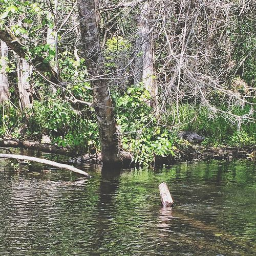 Last of the Florida pictures, one of the 10' alligators I kayaked past on the Wekiva River... Wekiva River Florida Central Florida Orlando River Riverside Riverbank Tree Nature Outdoors Outside Alligator Reptile Crocodilian Crocodilia Alligatoridae Predator Beautiful