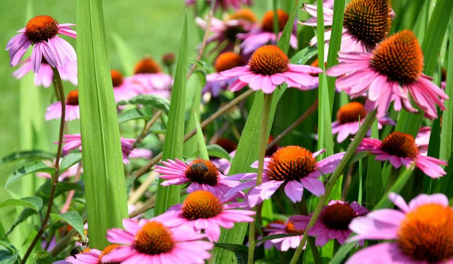 Close-Up Of Coneflowers Blooming On Field