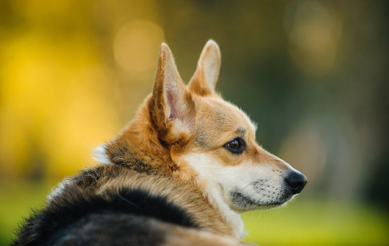 Welsh Pembroke Corgi dog outdoor portrait Welsh Welsh Pembroke Corgi Animal Animal Themes Close-up Color Corgi Day Dog Domestic Animals Focus On Foreground Mammal Nature No People One Animal Outdoors Outside Pembroke Welsh Corgi Pembrokeshire Pets Photography Purebred Dog