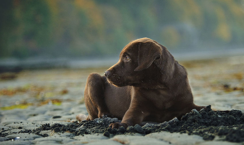 Chocolate labrador resting on field