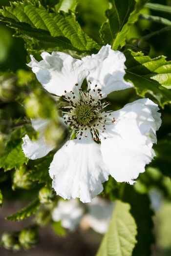 Rubus Beauty In Nature Blackberry Blooming Close-up Evergreen Flower Petal White Color