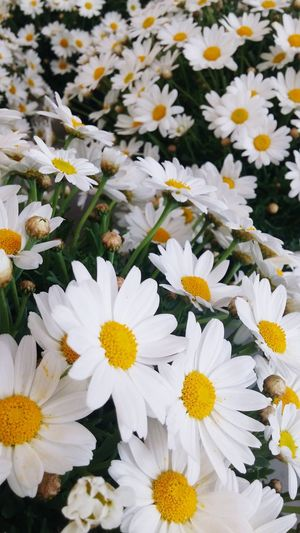 Flower Fiori Nature Primavera Beautiful Spring Flowers Love Sun Margherite🌼🌼 Growth Flower Head Springtime Close-up No People Blooming Outdoors Freshness Beauty In Nature Pollen Yellow White Color Petal Fragility Day