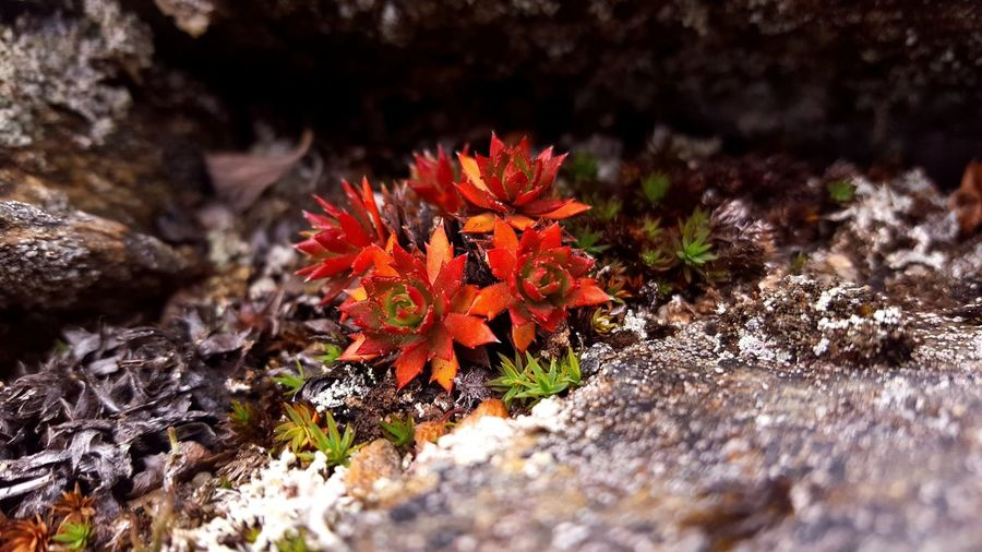 Nature No People Rock - Object Outdoors Red Landscape Beauty In Nature Close-up Day Innaarsuit Greenland Nature Photography Photography Is My Escape From Reality! EyeEm Nature Photograph