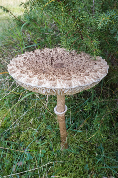 Mushroom Fungus Food Nature Edible Mushroom No People Beauty In Nature Wild Macrolepiota Procera