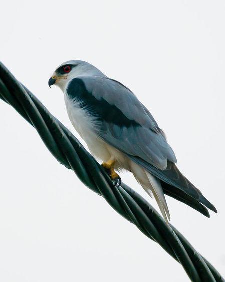 Black winged kite shot at malacca malaysia