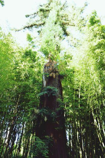 Un jeune séquoia en devenir à la Bambouseraie Sequoia Tree Young La Bambouseraie Anduze Holiday Memories South France