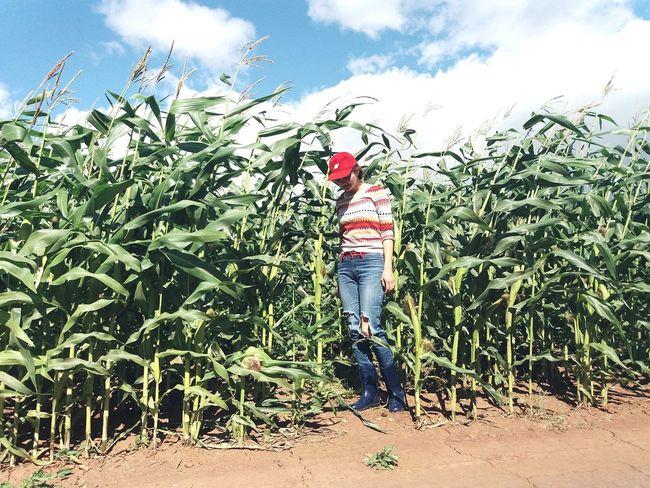 Кукуруза Кукуруза Agriculture Plant Farmer Russia Россия