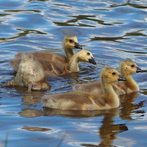 Water Bird Swimming Young Animal Duckling Water Bird Young Bird Gosling Geese Canada Goose Goose