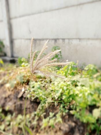 Nature Close-up Day Plant Outdoors Grass Fragility Beauty In Nature Freshness No People Growth Ground Streetside Grass Flora Soil Oso  Surabaya Mid-day
