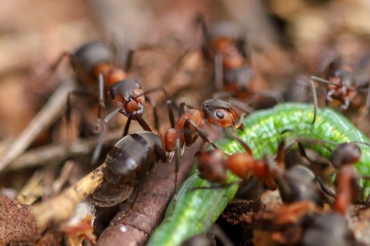 Ants cleaning up in nature EyeEm Best Shots - Nature Eyem Best Shots Nature_collection EyeEm Nature Lover Ants At Work Ants Invertebrate Insect Animal Wildlife Animal Themes Animal Animals In The Wild Close-up Group Of Animals Selective Focus