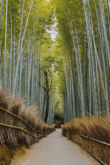 Dirt road amidst bamboo forest