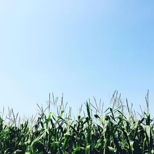 Corn field by itself. Beauty In Nature Blue Clear Sky Close-up Day Field Focus On Foreground Grass Green Green Color Growing Growth Idyllic Landscape Nature No People Non Urban Scene Non-urban Scene Outdoors Plant Rural Scene Scenics Sky Tranquil Scene Tranquility