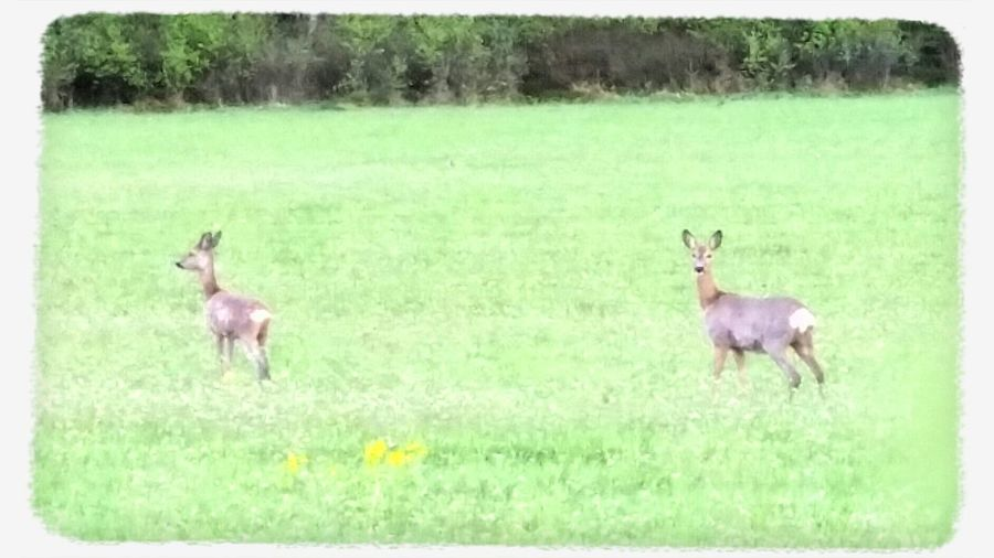 On our way home from church. Nature Watching Deer On The Road Rainy Day