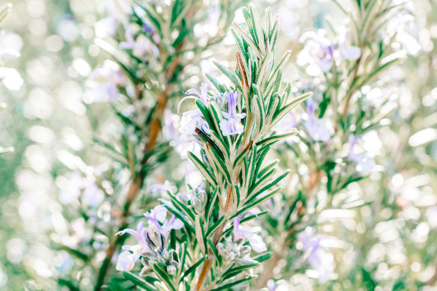 Close-up Day Flower Focus On Foreground Freshness Garden Gardening Green Color Herbs Nature Nature Nature Photography Naturelovers No People Outdoors Rosemary Rosemary Flowers Rosemary Herb The Great Outdoors - 2017 EyeEm Awards Live For The Story